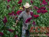 Flor Moco de Pavo, elemento principal del Día de Muertos