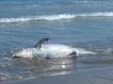 En playa de Alvarado localizan un delfín muerto
