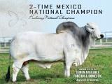 """El toro veracruzano """"Laureano Del Alba"""" es nombrado """"Campeón de Campeones"""" a nivel mundial por The Brahman Journal"""
