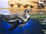 Donará Acuario de Veracruz pingüinos a Slim