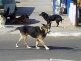 Crece el número de perros callejeros, sociedad y autoridades indiferentes