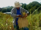 Cae producción de arroz en 40%