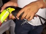 Aseguran tucanes transportados ilegalmente en Ángel R. Cabada
