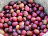 Demandan productores de café garantías y precio justo por cultivo