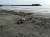 Por segundo día, aparece otra tortuga muerta en playa de Villa del Mar