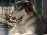 Rescata Profepa a dos lobos canadienses