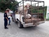 Incauta SSP armas, ganado y recuperan vehículos, hay 10 detenidos