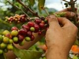 Cambio en la siembra de café afectaría sus precios