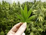 Llaman a legalizar la marihuana