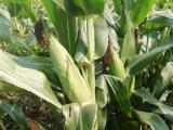 Emplean nuevas tecnologías en INIFAP para que cultivos resistan  efectos del cambio climático