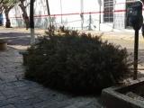Arranca campaña de acopio de árboles de Navidad en el Municipio de Veracruz