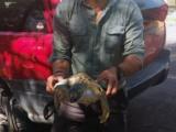 Piden ambientalistas  a las autoridades investigar  muertes de tortugas