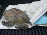 Guardavidas encuentran tortuga putrefacta en playa Martí