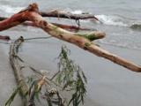 Diariamente, retiran 6 toneladas de  lirio acuático en playas de Boca del Río